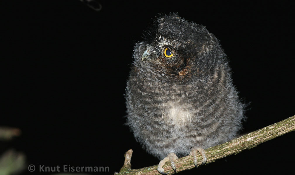 juvenile Bearded Screech-Owl by Knut Eisermann