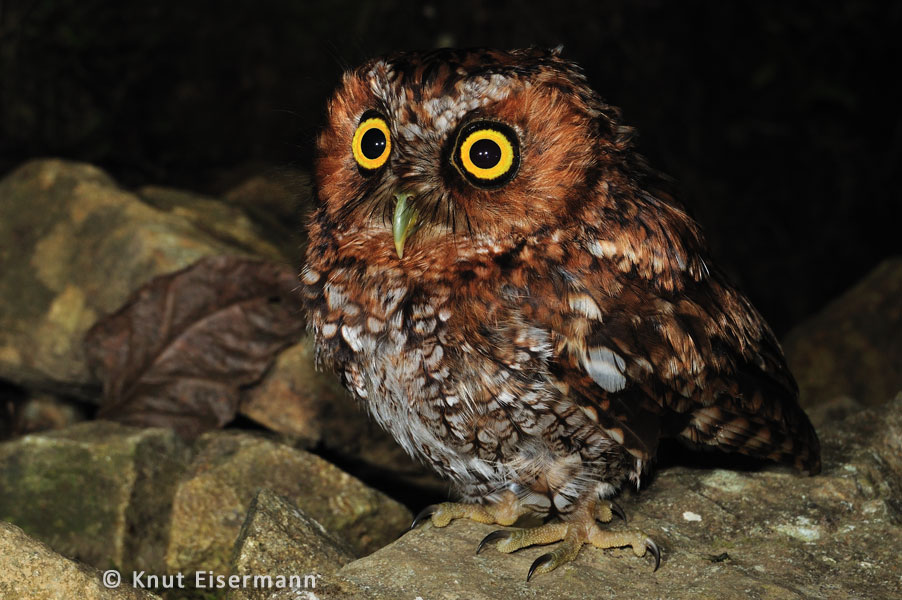 Bearded Screech-Owl, upgraded from Near Threatened to Vulnerable